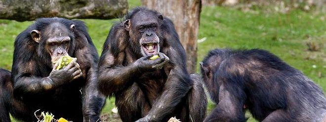 Der Sinn für Gerechtigkeit ist nicht rein menschlich. Auch Schimpansen verhalten sich oft ziemlich fair.