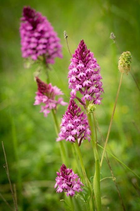 Die vielfältige und in Luxemburg eigenartige Natur in den früheren Tagebaugebieten steht heute bereits unter Schutz. Hier eine Pyramiden-Orchidee die auf dem Giele Botter abgelichtet wurde.