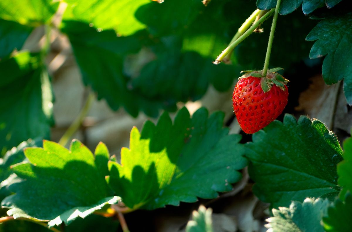 Lost enthusiasm for growing our own, when all that effort in lockdown yielded seven strawberries