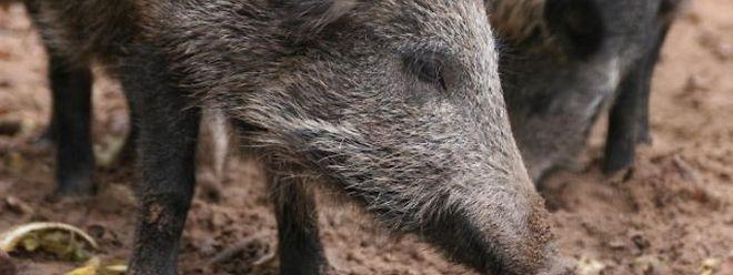 Le virus ne touche que les porcs et les sangliers. Il n'existe aucun vaccin ni traitement.