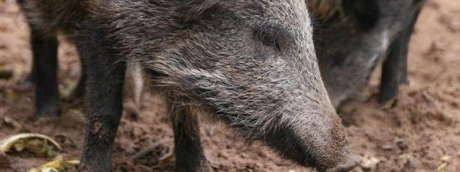 Mi-septembre, deux cas de peste porcine africaine ont été confirmés sur des sangliers, en Belgique. Les autorités luxembourgeoises sont aux aguets.