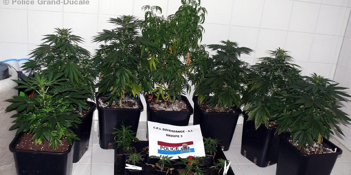Sichergestellte Cannabis-Pflanzen