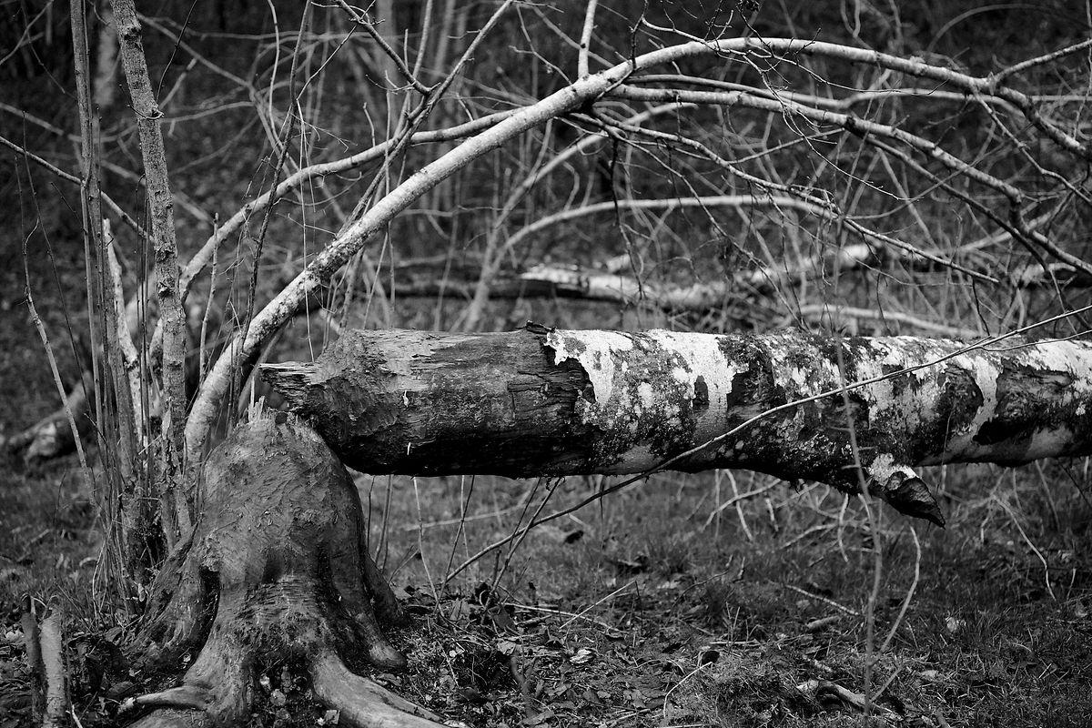 Uma árvore derrubada pelos castores.