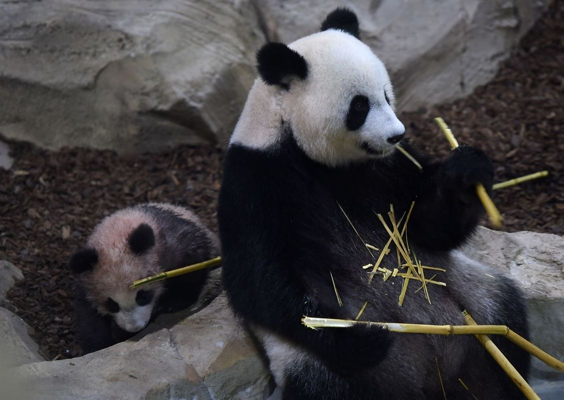 Yuan Meng, «accomplissement d'un rêve», au pelage gris et blanc rosé, s'est affiché en présence de sa maman, puis de son papa, dans son enclos.