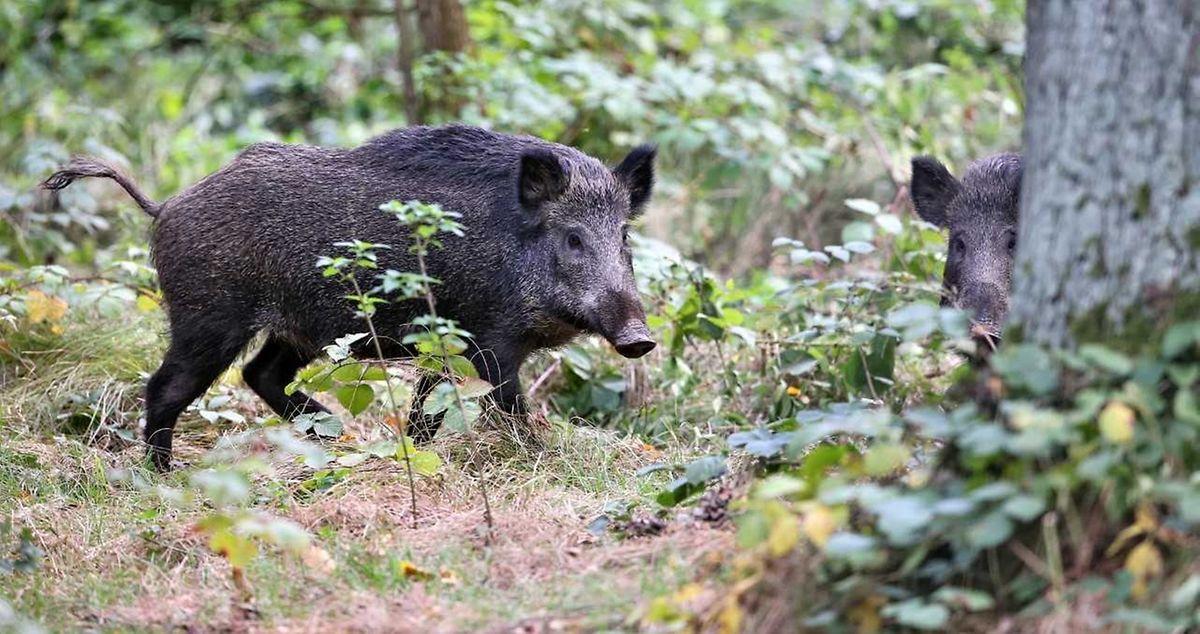 Die afrikanische Schweinepest ist auf dem Anmarsch. Bisher sind Luxemburg und Frankreich verschont geblieben, aber in Belgien gab es bereits über 700 registrierte Fälle.