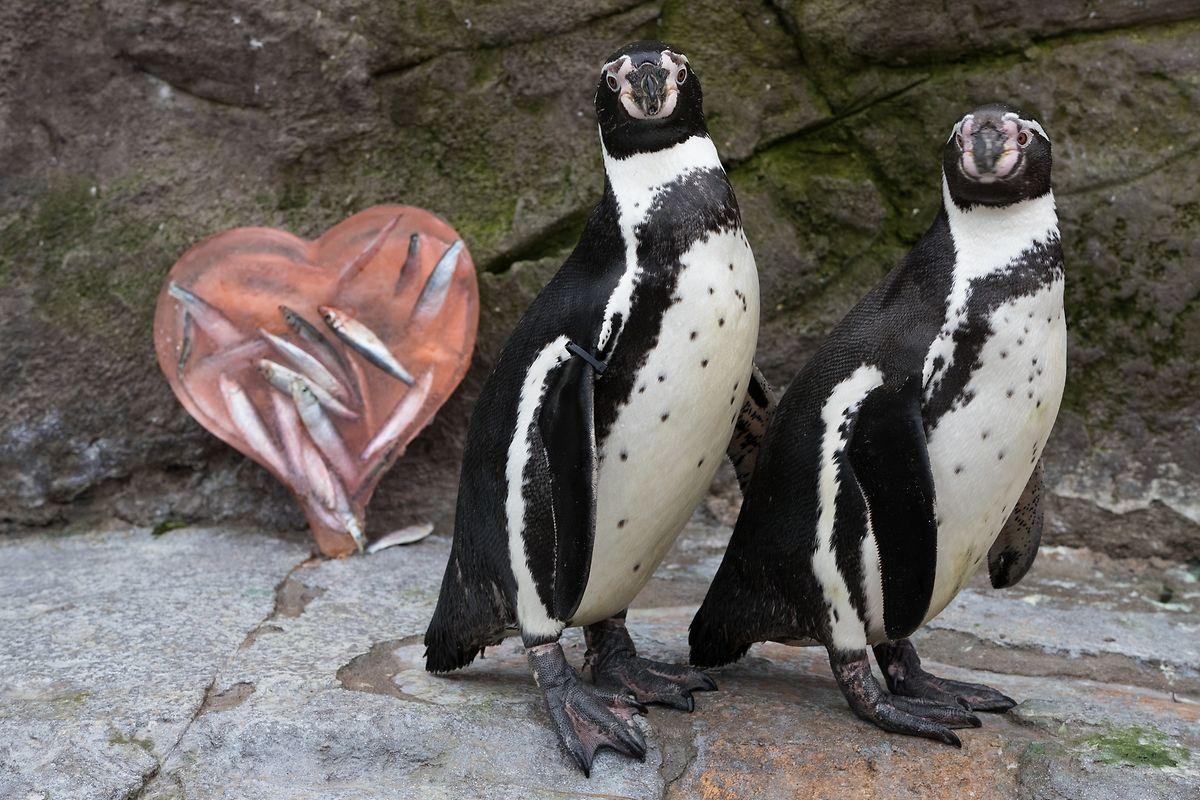 Gegensätze ziehen sich - hier nicht - an: Das Pinguinpaar Galaxy und Winnie erfreuen sich im West Midlands Safari Park an einem Herz voller gefrorener Fische.