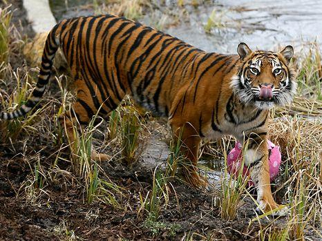 Bei einem zwischenfall im Tigergehege eines Londoner Zoos ist eine Pflegerin ums Leben gekommen.
