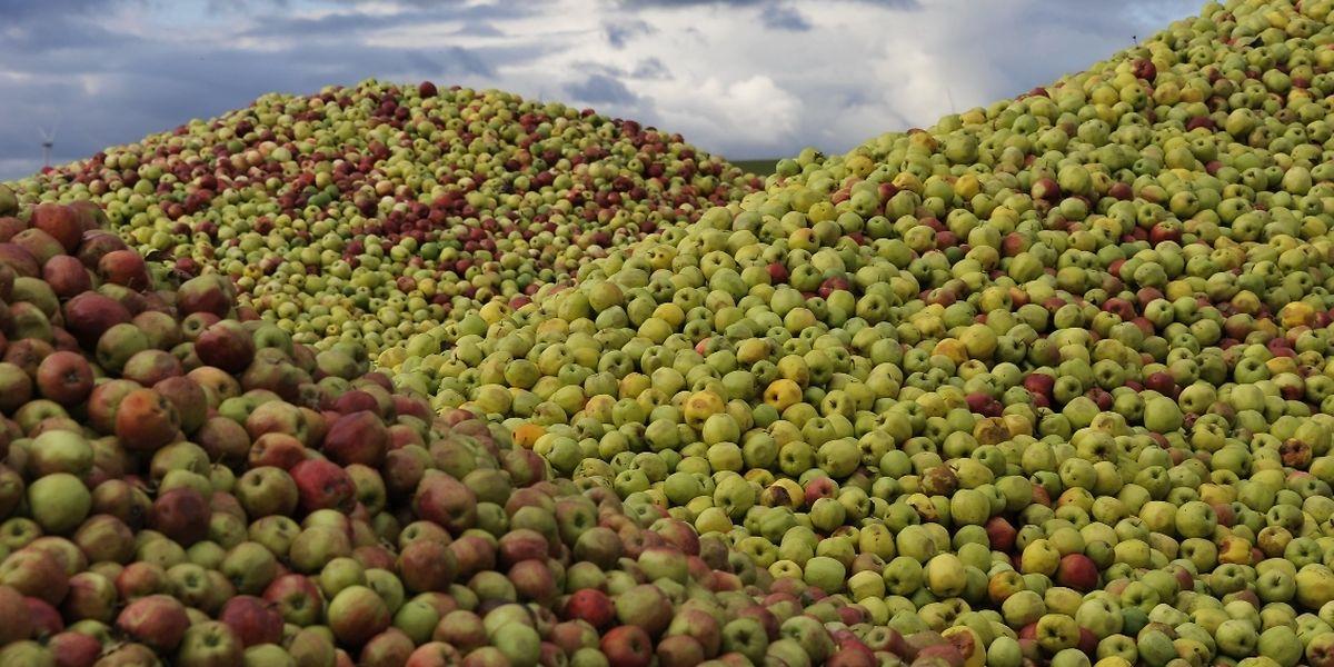 Des montagnes de pommes déversées à Urspelt.