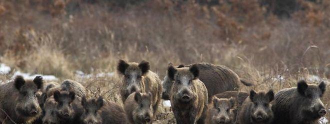 Spaziergänger laufen weit öfter an Wildschweinen vorbei, als ihnen bewusst ist.