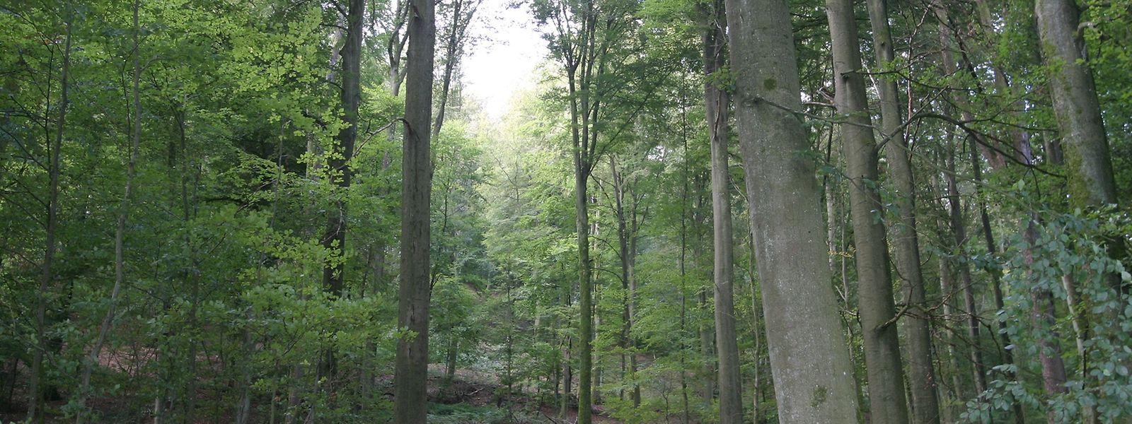 Un arbre sur trois est en mauvaise santé dans les forêts luxembourgeoises.