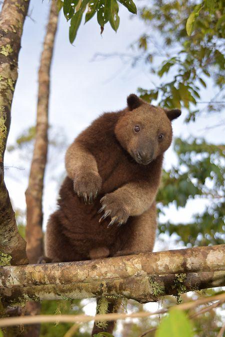 Neugieriger Beobachter im Blätterdach: ein Baumkänguru.