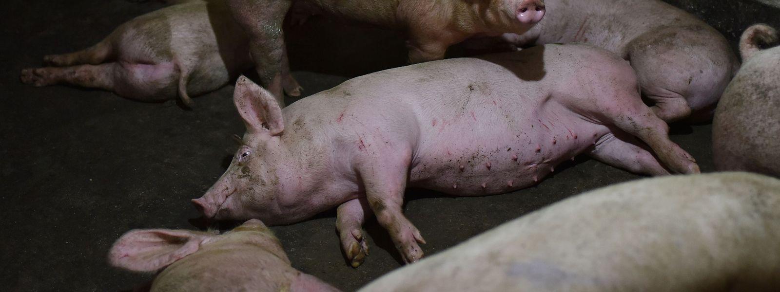 Wissenschaftler haben in China eine Variante des Schweinegrippe-Virus identifiziert, die das Potenzial für eine Pandemie unter Menschen entwickeln könnte.