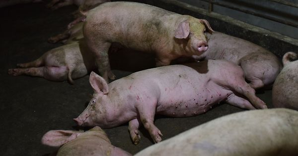 Neue Schweinegrippe mit