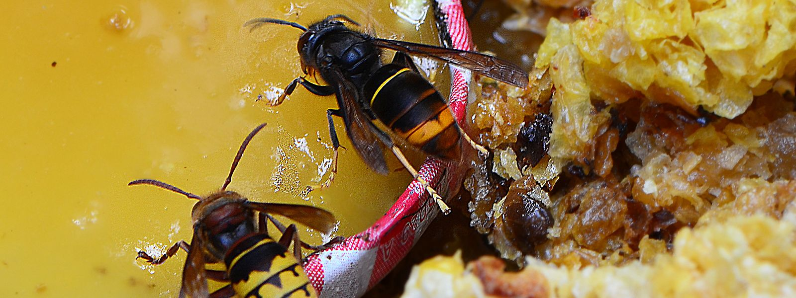 Die nicht als aggressiv geltende Hornisse hat gelbe Beine und einen dunkleren Körper.