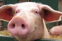 La Centrale paysanne est très inquiète des conséquences que pourrait avoir la maladie pour les éleveurs de porcs, dont la situation économique est déjà très tendue.