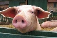 Die Afrikanische Schweinepest hat sich vor allem im Baltikum und in Polen ausgebreitet.