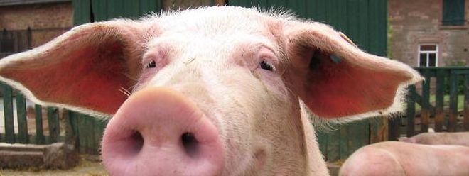 Die Bauernzentrale fürchtet um den Fortbestand der Schweineproduzenten in Luxemburg.