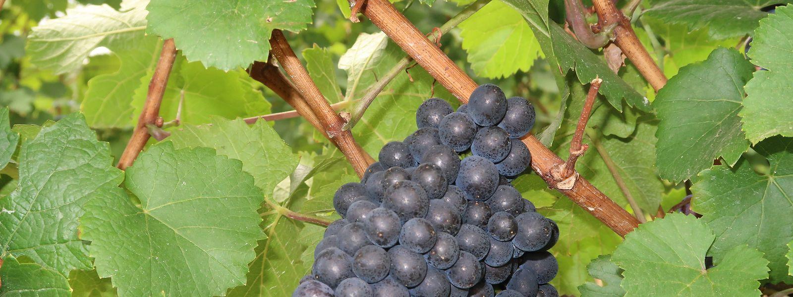 Schon Ende August sind die Trauben fast voll ausgereift.