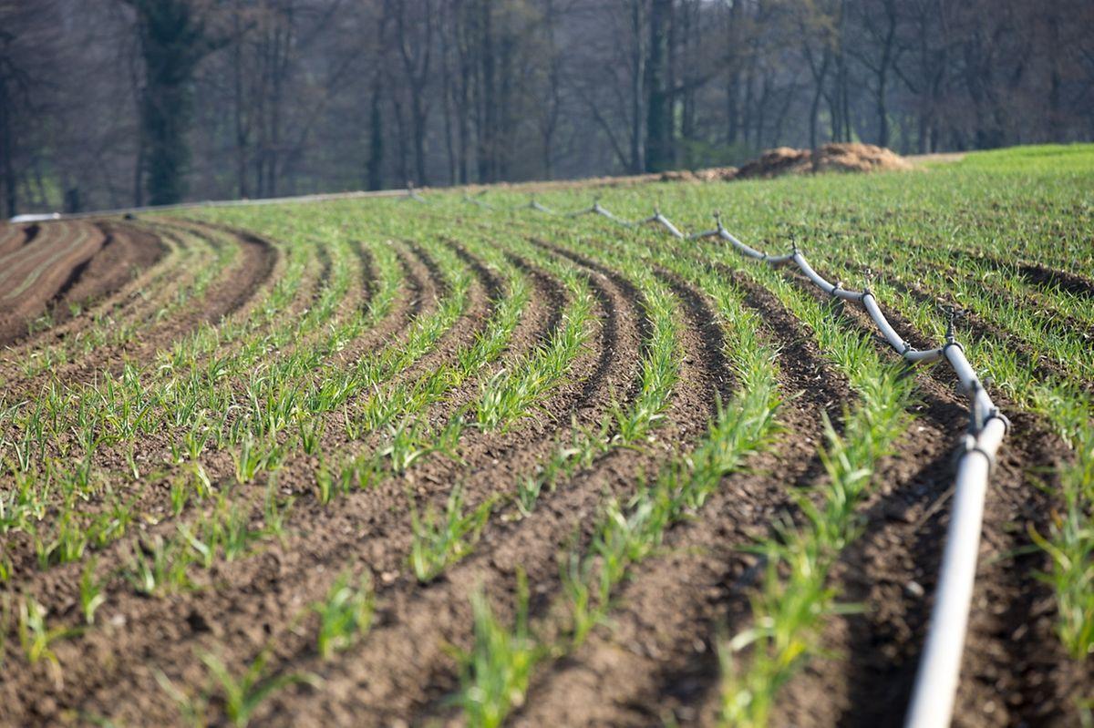 273f5c82f43 La famille Jungblut cultive de l ail dans ce champ.