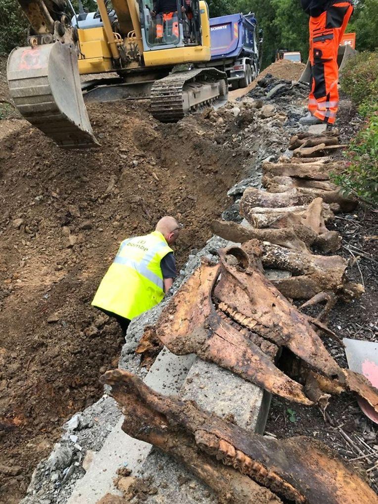 Ein ungewöhnlicher Fund bei Marnach: Bei Bauarbeiten wurde ein Pferdeskelett aus der Zeit des Zweiten Weltkrieges ausgegraben.