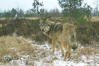 Wolf mitteleuropäische Flachlandpopulation