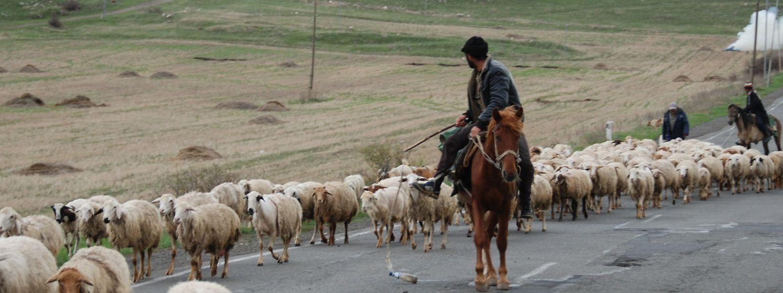 Fast schon mittelalterliche Idylle: Schafstreiber auf der Straße nach Berg Karabach.