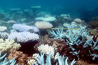 """An undated handout photo received from ARC Centre of Excellence for Coral Reef Studies on April 19, 2018 shows a mass bleaching event of coral on Australia's Great Barrier Reef.  The Great Barrier Reef suffered a """"catastrophic die-off"""" of coral during an extended heatwave in 2016, threatening a broader range of reef life than previously feared, a report revealed on April 19, 2018. / AFP PHOTO / ARC Centre of Excellence for Cor / MIA HOOGENBOOM"""
