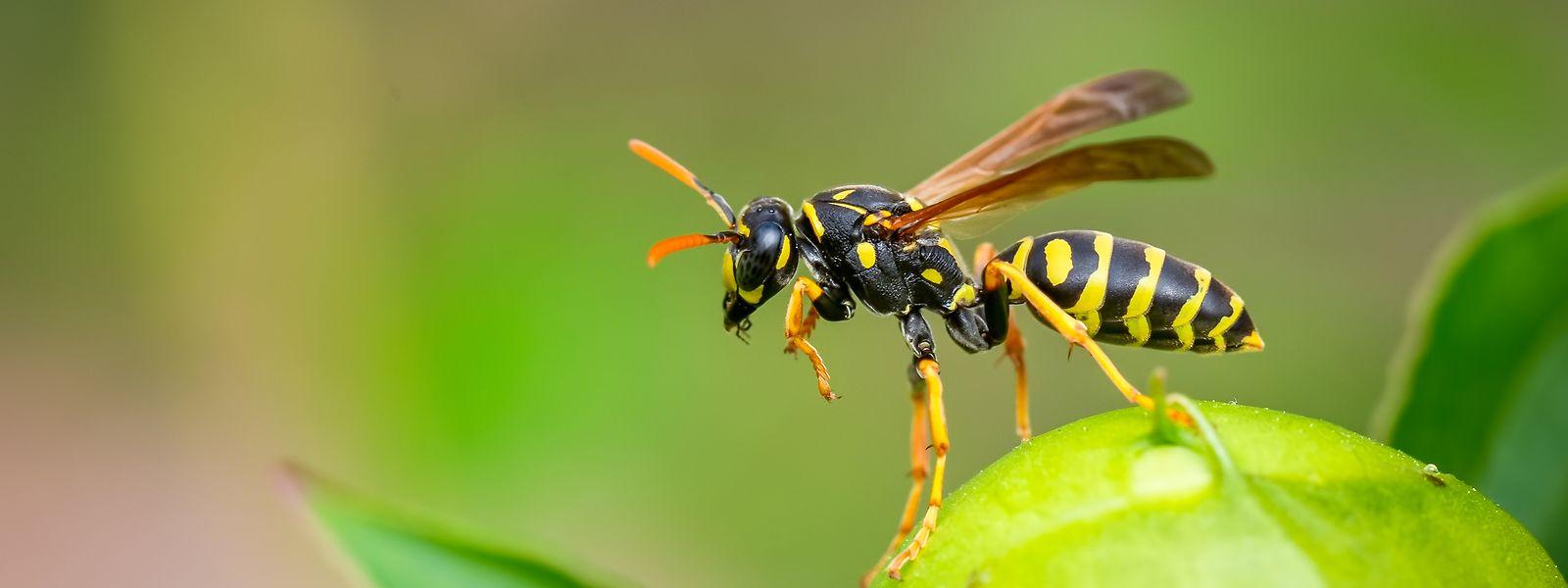 Neben Nektar, Pflanzensäften, Früchten und Fallobst fligen Wespen auch auf Gegrilltes.
