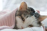 Katze unter Decke