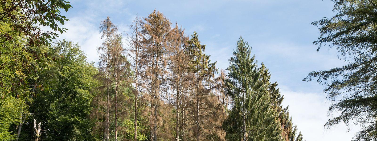 «Les propriétaires privés sont obligés de couper ces épicéas. Mais ils ont de grandes difficultés à vendre leur bois», informe Winfried Von Loë, directeur du Lëtzebuerger Privatbësch.