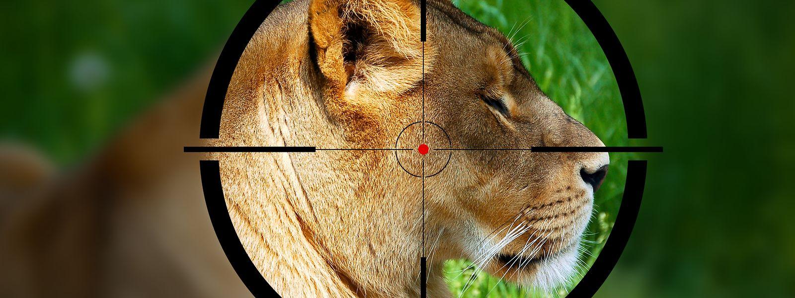 In Südafrika leben über 8000 Löwen und weitere Raubtiere in Gefangenschaft.