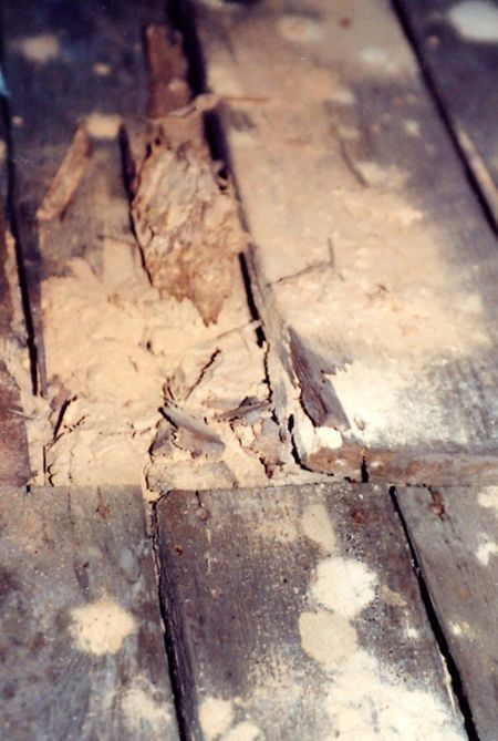Schädlinge können sich in altenHäusern eingenistet haben: Der Hausbock frisst sich beispielsweise durch Dielen und Balken.