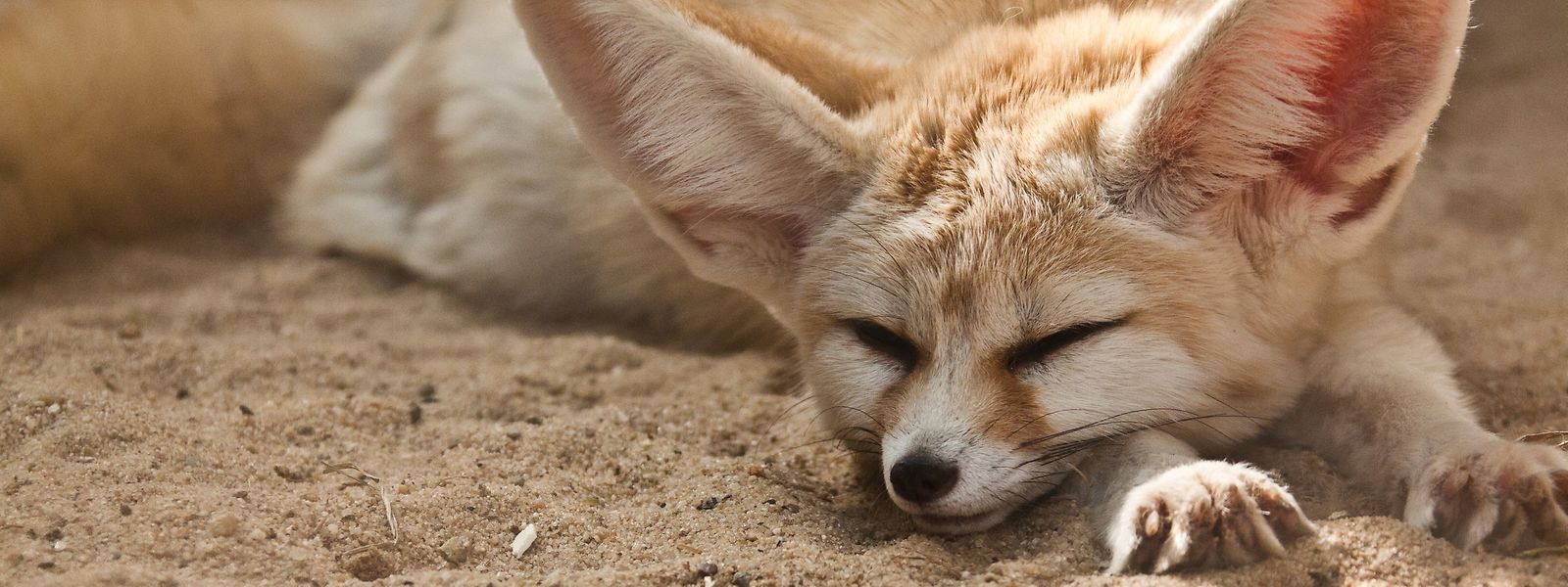 Die Ohren der Fenneks helfen, die Temperatur zu regulieren.