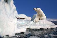 Eisbär Arktis Nordpol