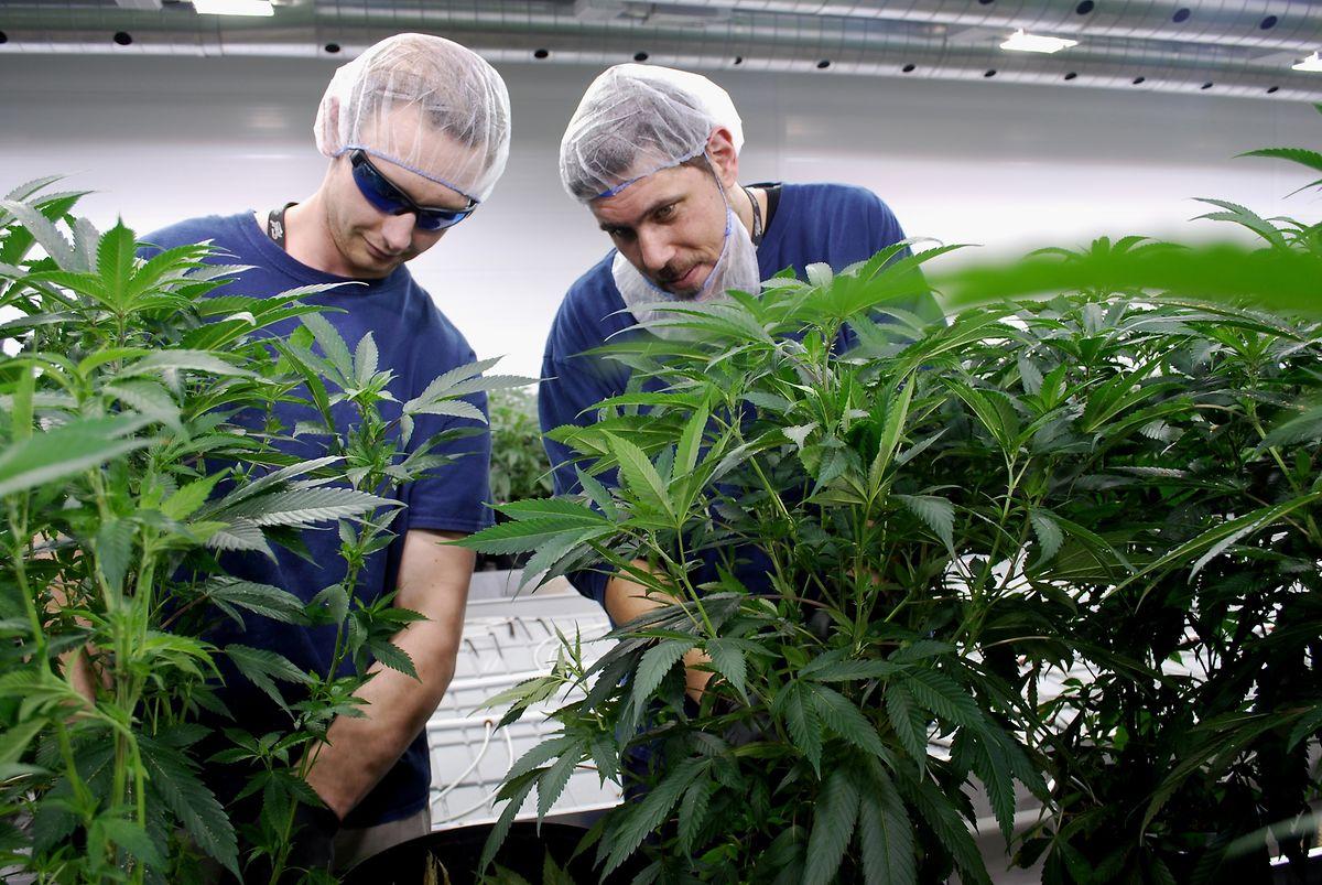 Tweed-Mitarbeiter entfernen einzelne Blätter, so dass die Pflanzen kräftige Blüten entwickeln können.
