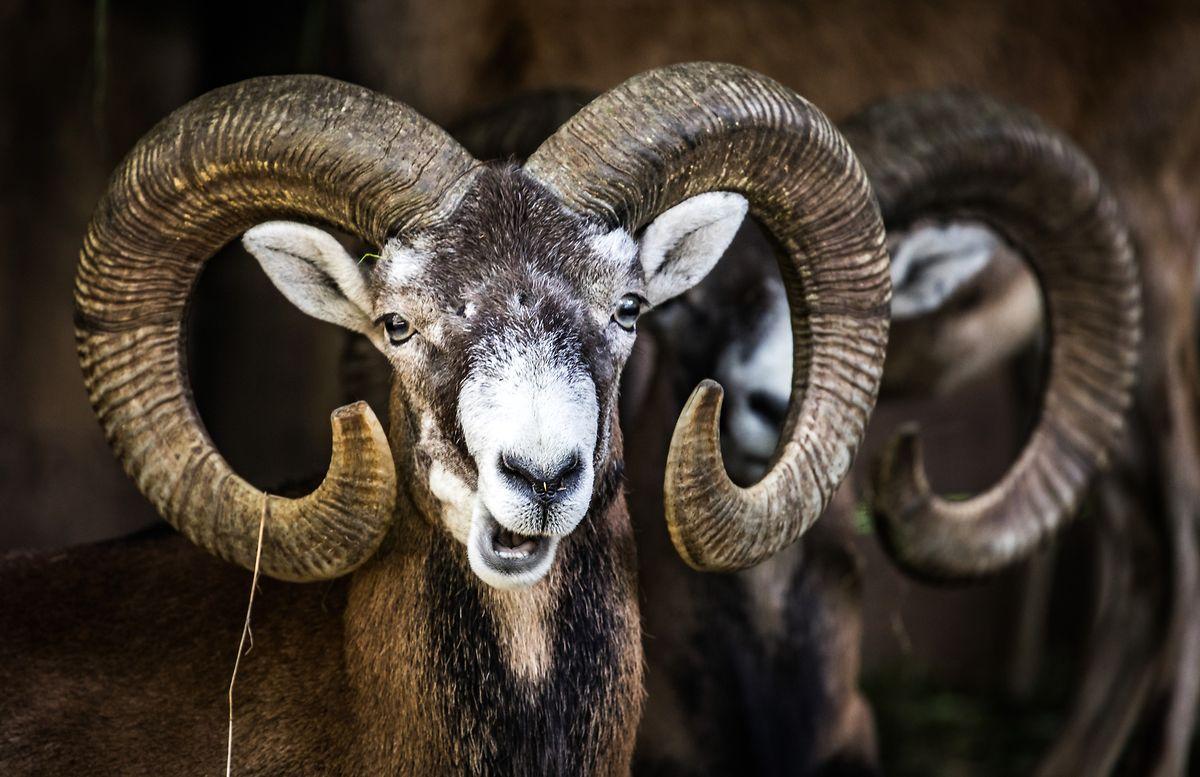 Die Regierung hat Mufflons im Waldgebiet Haard zum Abschuss freigegeben.