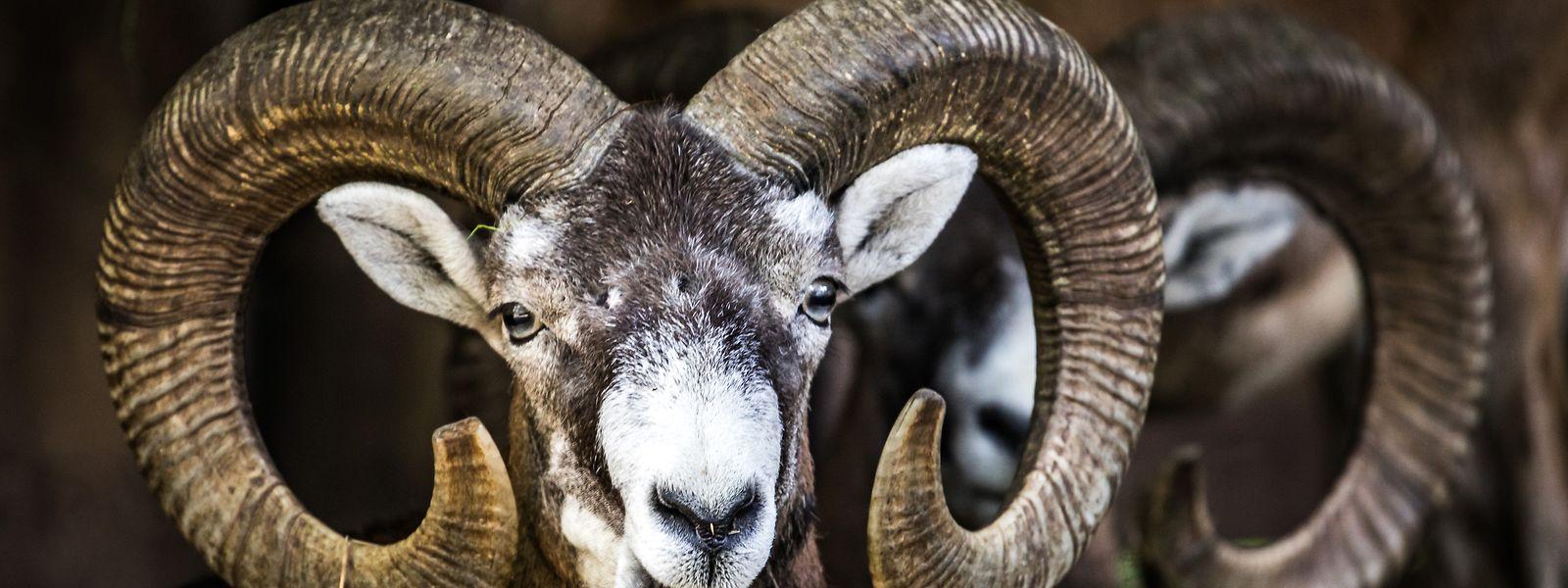Die Mufflons verursachen hohen Schaden am Waldbestand und sollen deshalb bejagt werden.