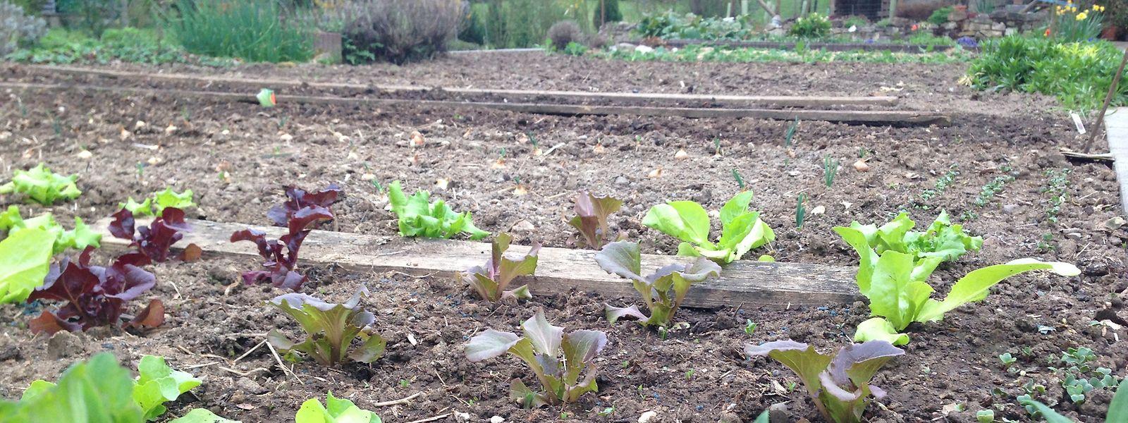 Gartengemüse, das bei einer Flut in direktem Kontakt mit dem Hochwasser steht, sollte man nicht essen.
