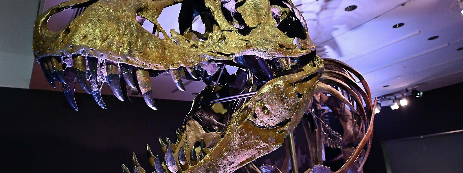 Das Fossil war rund zwei Jahrzehnte am Black Hills Institute im US-Bundesstaat South Dakota ausgestellt.