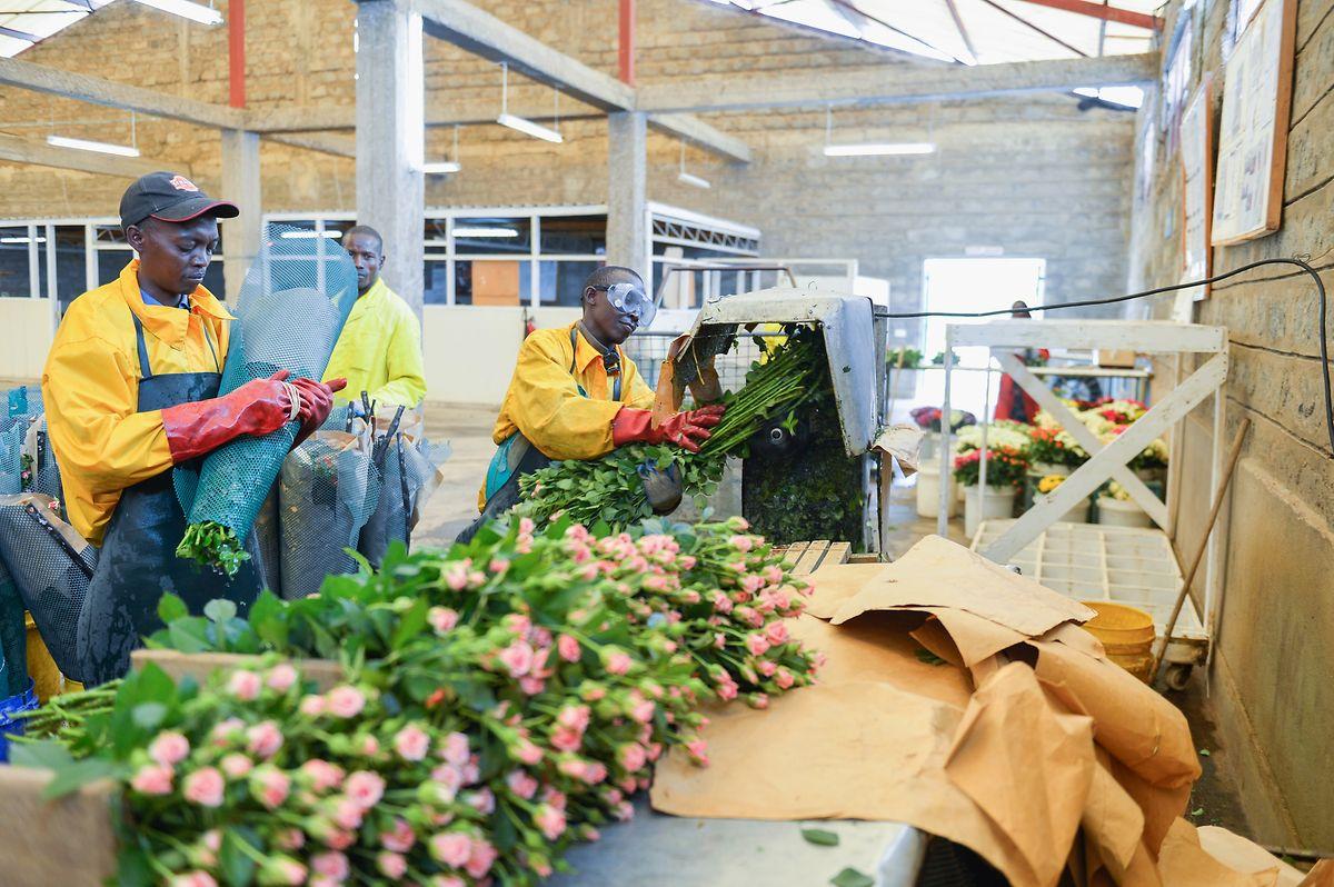 Avant d'arriver chez les fleuristes et grandes enseignes luxembourgeoises, les roses fairtrade suivent plusieurs étapes.