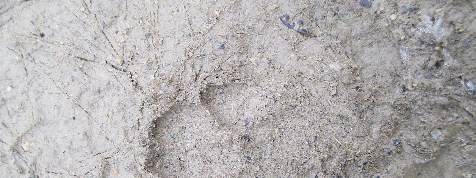 Wenn der Waldboden so matschig ist wie jetzt, könnten vielleicht Trittspuren zu sehen sein.