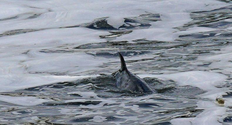 10.05.2021, Großbritannien, London: Ein Zwergwal schwimmt in der Nähe der Teddington Schleuse in der Themse. Einen etwa vier Meter langen Wal haben Rettungskräfte in London aus einer Themse-Schleuse befreit. Foto: Yui Mok/PA Wire/dpa +++ dpa-Bildfunk +++