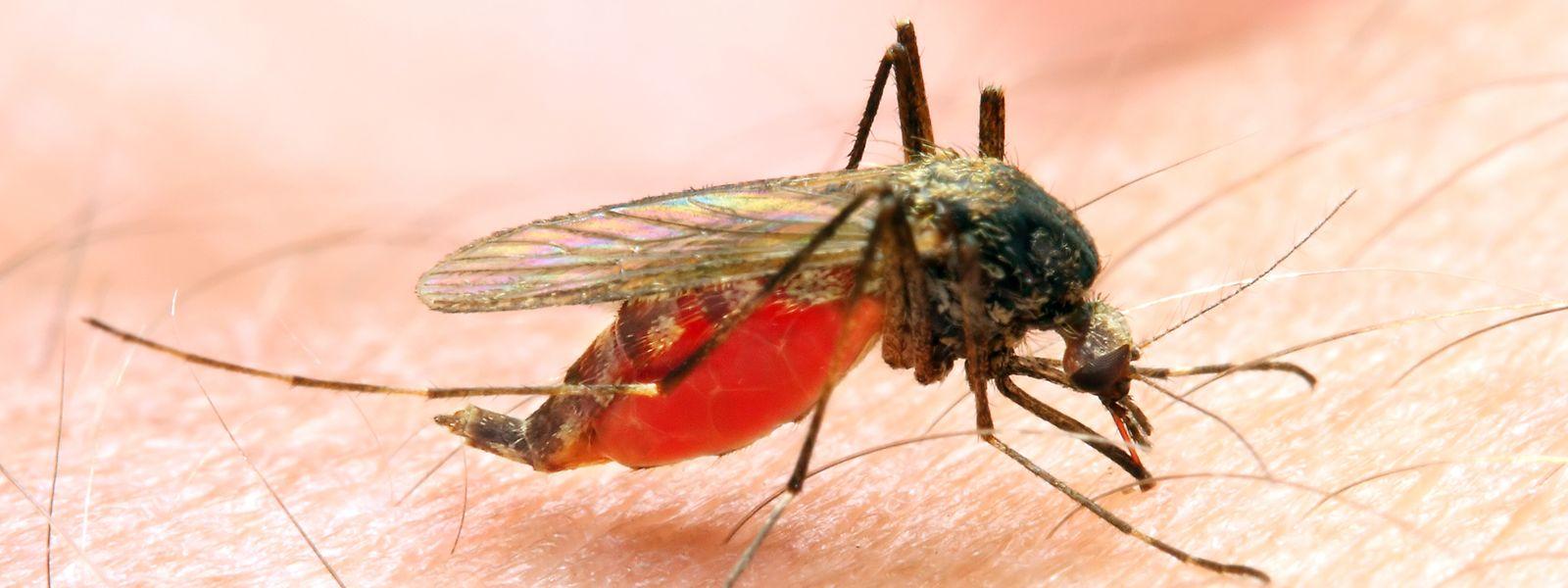 Malaria wird nur von weiblichen, Parasiten-befallenen Anopheles-Mücken übertragen.