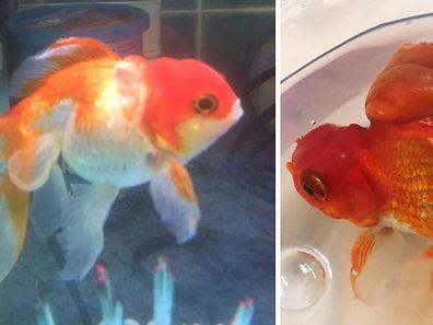 La tumeur de Nemo (visible sur la photo de droite) était presque aussi grande que lui.