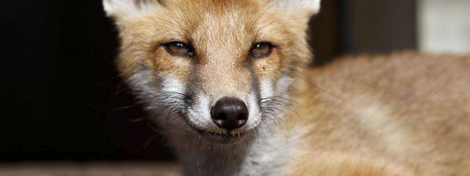 Sechs Dinge über Den Fuchs Wenn Der Fuchs Im Garten Ist