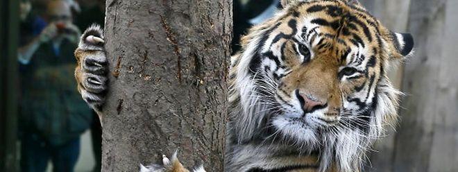 Im Palm Beach Zoo in Florida ist eine 38-jährige Tierpflegerin von einem Tiger angefallen und getötet worden.