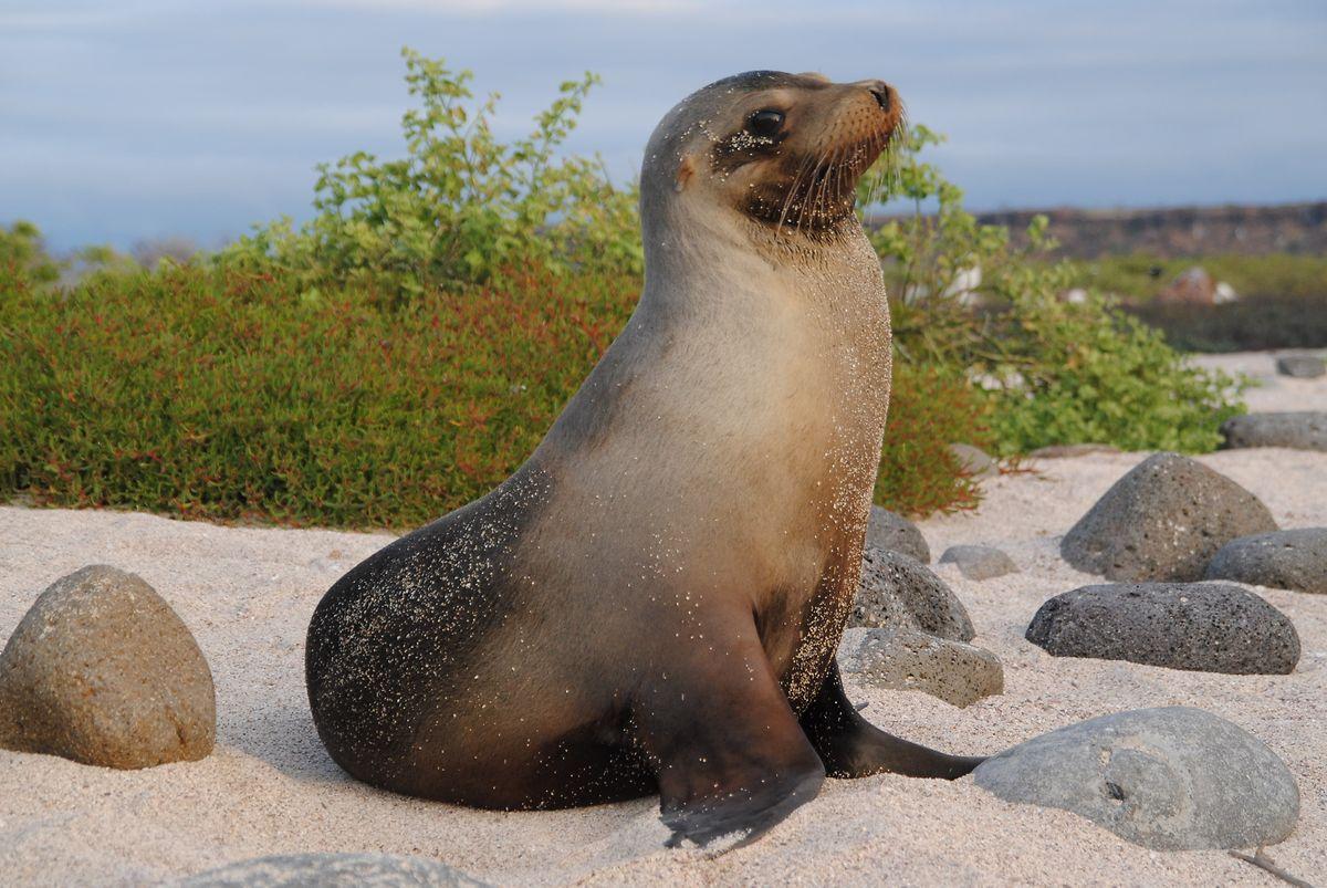 Auch Seelöwen gehören zu den häufigsten Bewohnern der Galápagos-Inseln.