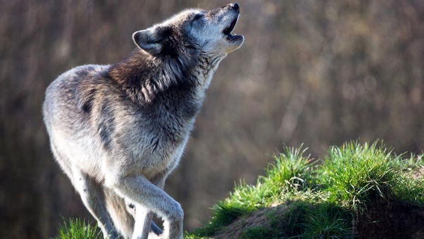Der Wolf scheint nicht mehr weit von Luxemburg zu sein.
