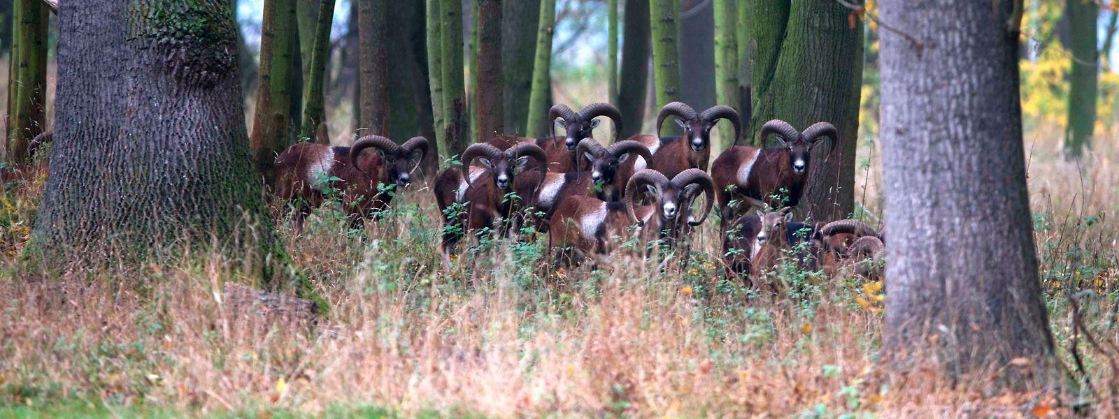 In der Natura-2000-Zone vermehren sich die Mufflons ungestört weiter.