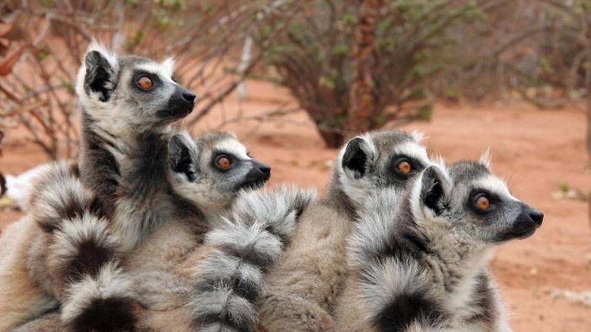 Lemuren auf freier Wildbahn leben ausschließlich auf der Insel Madagaskar.
